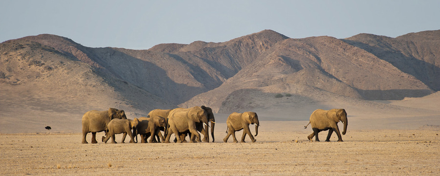 A group of Damaraland Desert Elephants trundles across the baren desert of Namibia as an ostrich runs in the background, desert, sand dunes