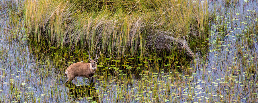 A rare African antelope cautioulsy steps through a flooded wetland, lily pads and grasses sprouting from waters, curved horns, brown and white marking