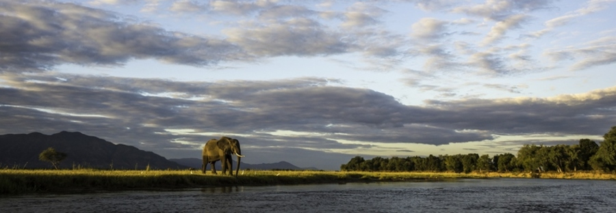 Large African elephant overlooking the wide Zambezi River near Ruckomechi Camp, elephant approaching watering hole, Zambia safari camp, Africa