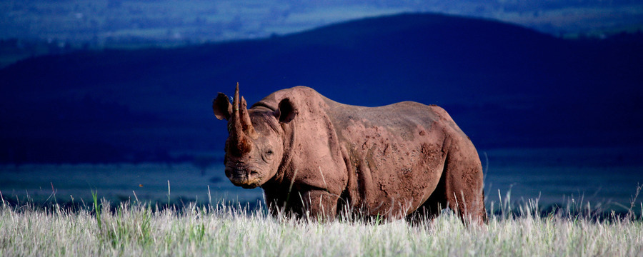 A massive African rhino staring into the camera, double horned animal, set against a deep dark blue background, endangered animals, African safari