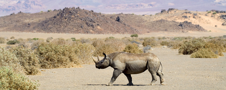 A healthy black rhino walks across the desert plains at safari camp Doro Nawas located in Damaraland, Namibia, double horned rhino, piles of rocks