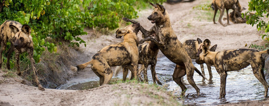 wild dogs playing at dumatau on a game drive in botswana's linyanti reserve