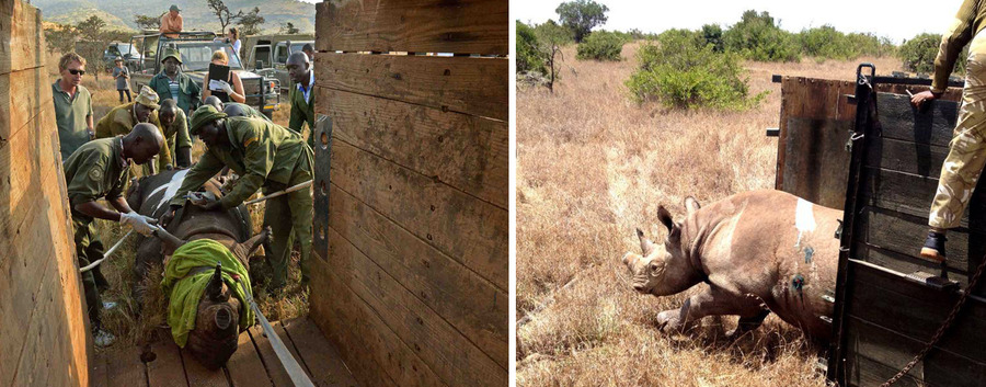 Borana Wildlife Conservancy, Kenya's Laikipia district, the translocation of 21 black rhino from Lewa Wildlife Conservancy, Lake Nakuru National Park