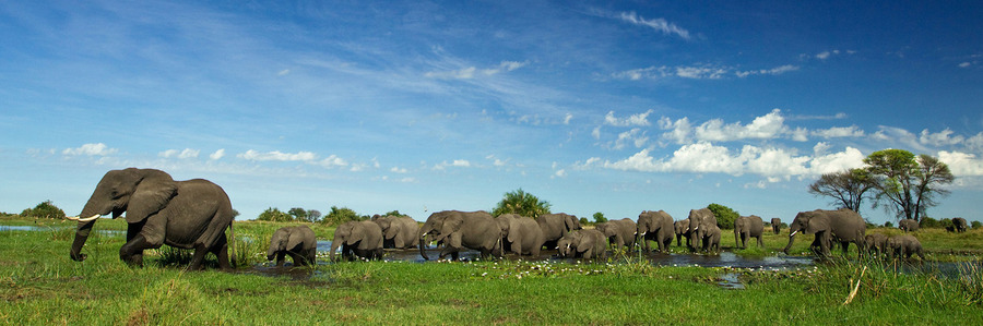 A herd of elephants parade through a lush section of Botswana's wetlands in the green season, elephants water crossing, tusks, baby elephants, Africa