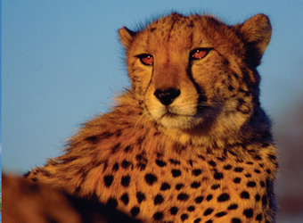 A cheetah looks off into the radiating sun as he is lit up with the fading light of the evening in Okonjima Reserve, Namibia