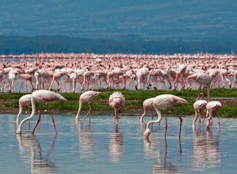 Thousands of pink flamingos search for food in Lakew Manyara at Lake Manyara National Park, TanzaniaA famous tree-climbing lion taking a rest on a bough of a large tree in Lake Manyara Park, Tanzania