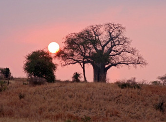 A boab tree is backlit by the setting sun and a pink filled sky in Tarangire National Park, Tanzania