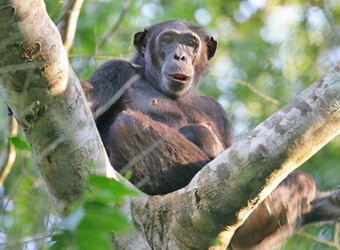 A lone chimp relaxes in the cleft of a tree in the deep jungle of the Mahale Mountains National Park, Tanzania