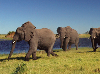 A group of three large elephants walks along the bank of a river in search of food among the grasslands in Selous Game Reserve, Tanzania
