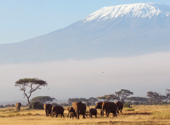 A herd of elephants grazes the grasslands against the backdrop of Mount Kilamanjaro in Amboseli, Kenya