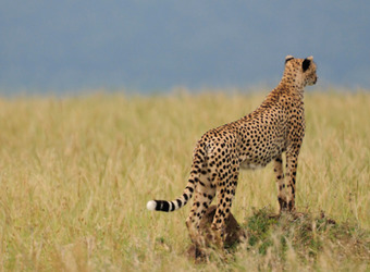 A cheetah gazes off from its perch into the African grasslands in Meru National Park, Kenya
