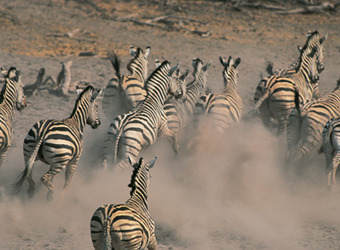 A herd of zebra stampedes through the plains kicking up a immense cloud of dust behind them in Makgadikgadi Salt Pans.