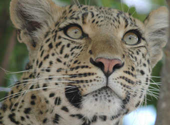 The face of a leopard, highly zoomed in, with its multitude of whiskers visible and its calm green eyes in South Luangwa National Park, Zambia