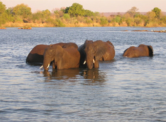A group of elephants partially submerged within the lower Zambezi River with the sun highlighting the far banks, Zambia
