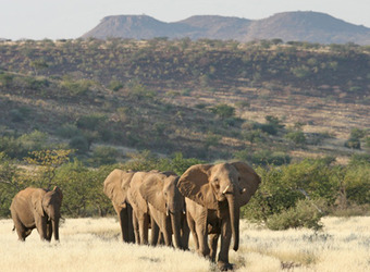 A line of elephants walks along the bush and grasses with large imposing mountains rising into the heavens in the distance in Damaraland, Namibia