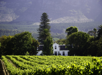 Beautiful view of a wine vineyard and house in the countryside with a large tree standing tall behind the house in cape winelands, South Africa