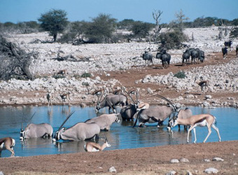 A herd of gemsbok take a dip in a watering hole in the middle of the Etosha salt pan in Etosha, Namibia