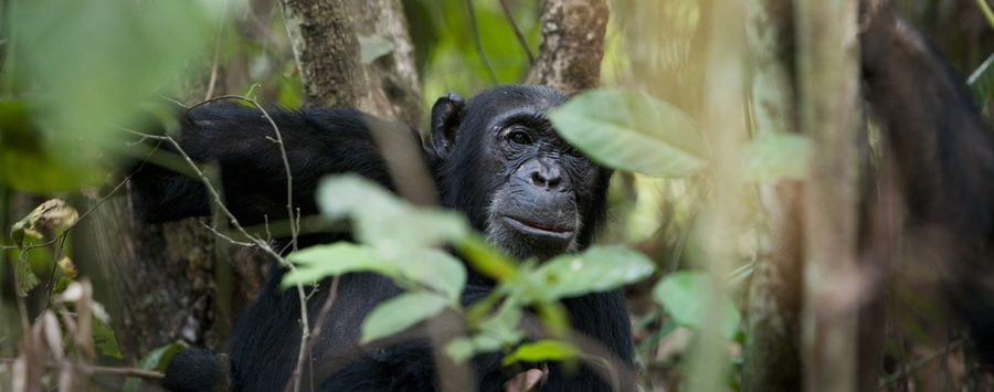 Huge_mahale_chimp_990x430