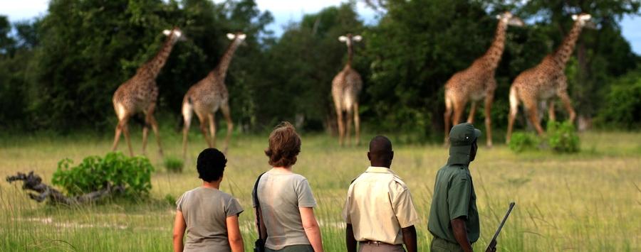 Huge_giraffe_walking