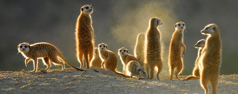 Huge_tswalu_meerkats