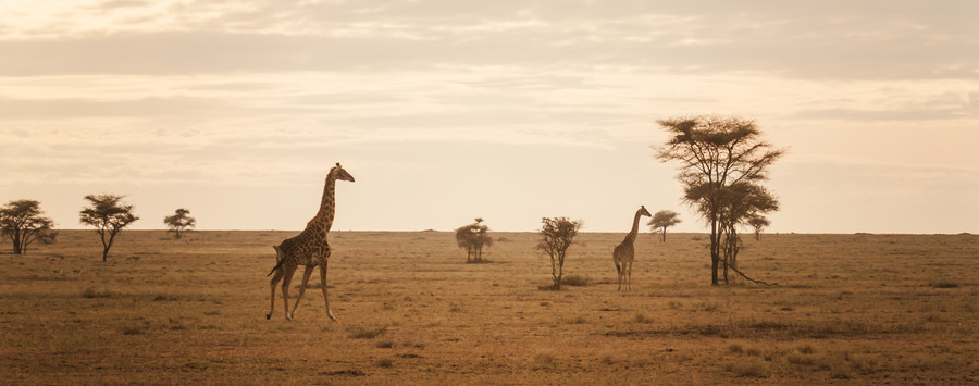 Huge_giraffe-sunset-serengeti-eric-frank-mr
