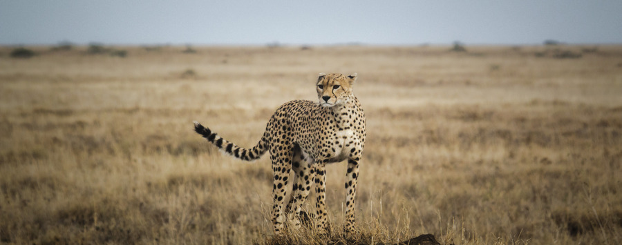 Huge_cheetah-looking-serengeti-eric-frank-mr