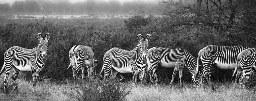 Huge_sasaab_grevy_s_zebra